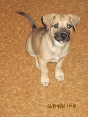 Stop German Shepherd Puppy Aggression