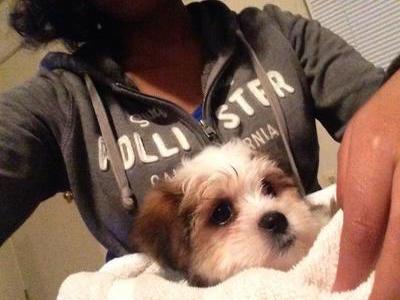 Aggressive Malshi Puppy