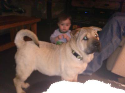 Small Dog Aggressive Over Toys