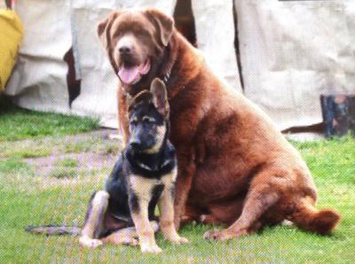 Shepherd is Tuffer and mastif/lab is Brutis