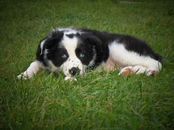 aggressive border collie puppy