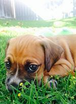aggressive boxer puppy