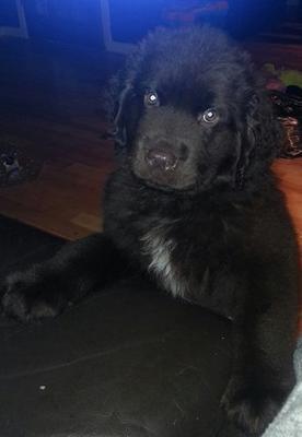 Aggressive Newfoundland Puppy