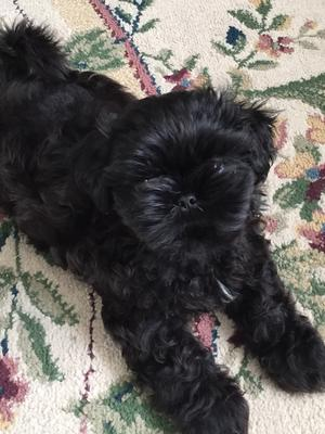 My 9wk Old Shih Tzu Puppy Keeps Nipping At My 2 Labs